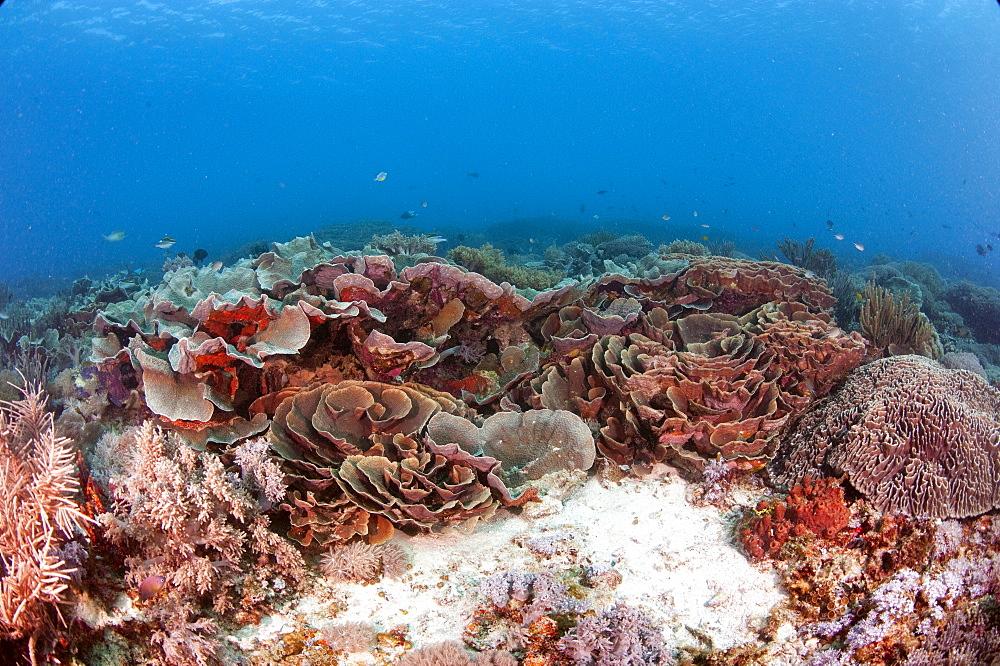 Turbinaria reniformis hard coral, Komodo, Indonesia, Southeast Asia, Asia