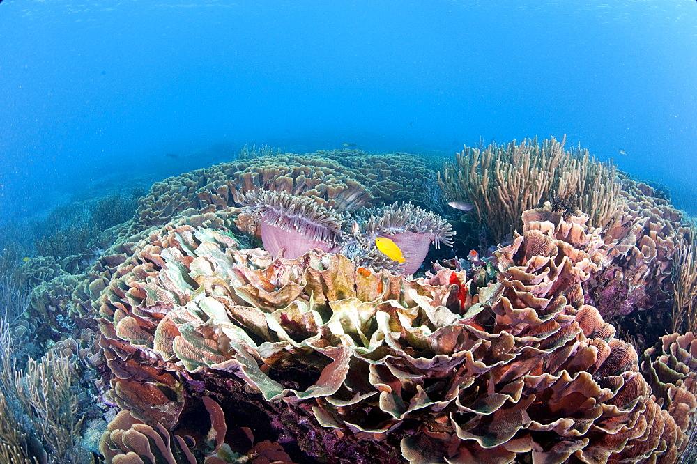 Hard coral reef scene, Komodo, Indonesia, Southeast Asia, Asia