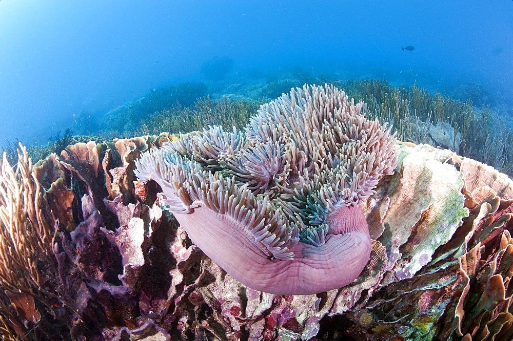 Large purple anemone on hard coral, Komodo, Indonesia, Southeast Asia, Asia