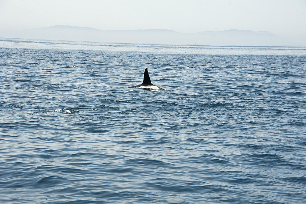 Large male orca in the Straits of Gibraltar, Europe