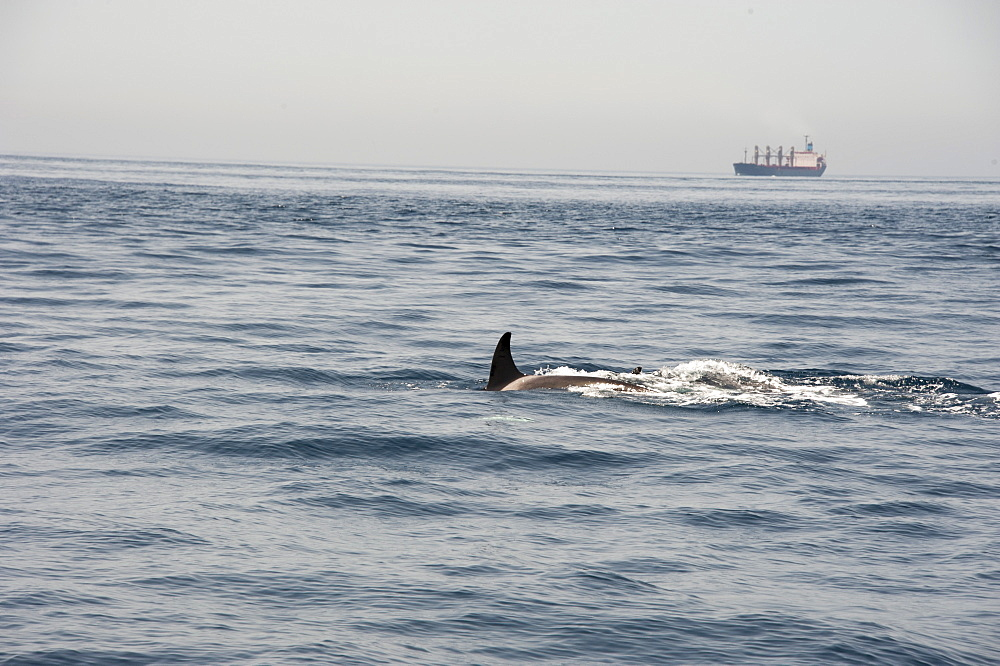 Orcas in the Straits of Gibraltar, Europe