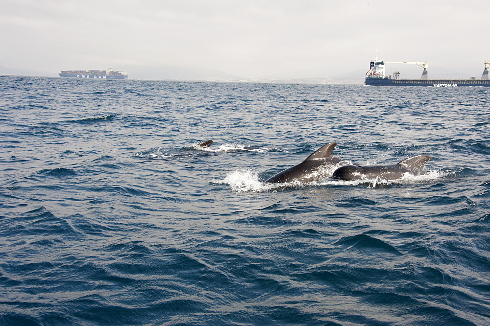 Pilot whales in the Straits of Gibraltar, Europe