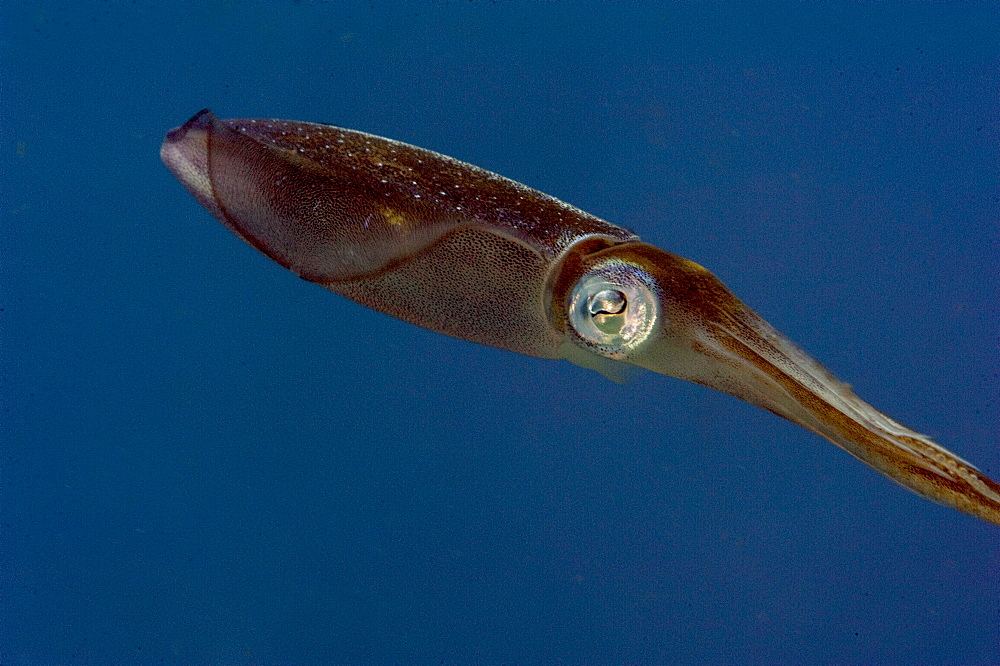 Caribbean reef squid (Sepioteuthis sepioidea), Dominica, West Indies, Caribbean, Central America
