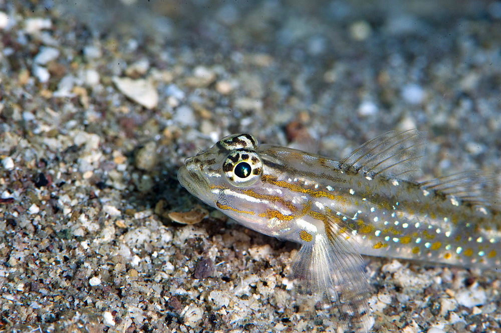 Bridled goby (Coryphopterus glaucofraenum), Dominica, West Indies, Caribbean, Central America