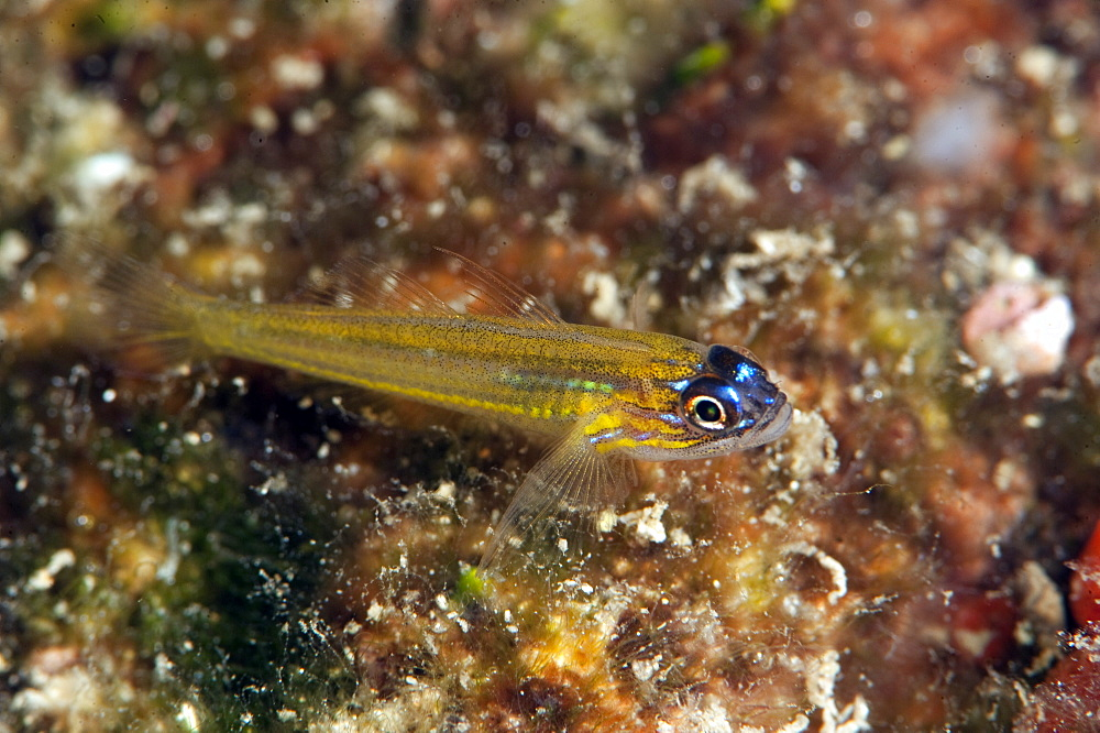 Peppermint goby (Coryphopterus lipernes), Dominica, West Indies, Caribbean, Central America - 1103-361