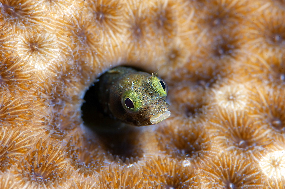 Roughhead blenny (Acanthemblemaria aspera), Dominica, West Indies, Caribbean, Central America - 1103-364