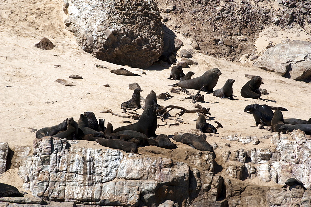 Cape fur seals, Cape Town, South Africa, Africa