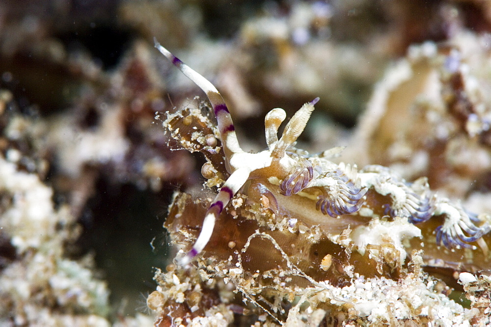 Pteraeolidia ianthina nudibranch, grows to 150mm, subtropical Indo-west Pacific waters, Philippines, Southeast Asia, Asia