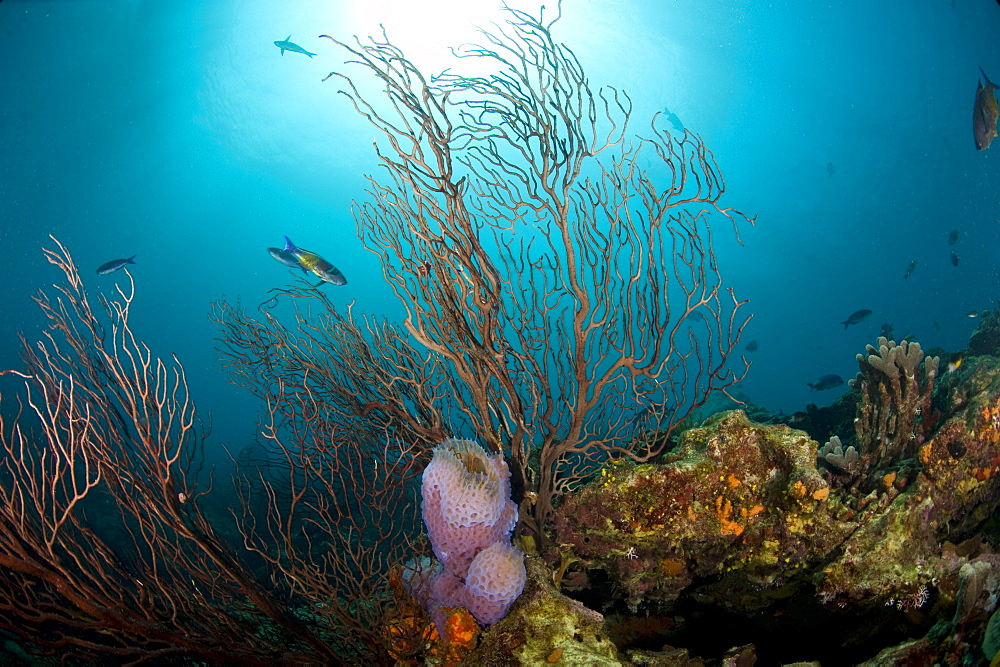 Reef scene with fan coral and vase sponge, St. Lucia, West Indies, Caribbean, Central America
