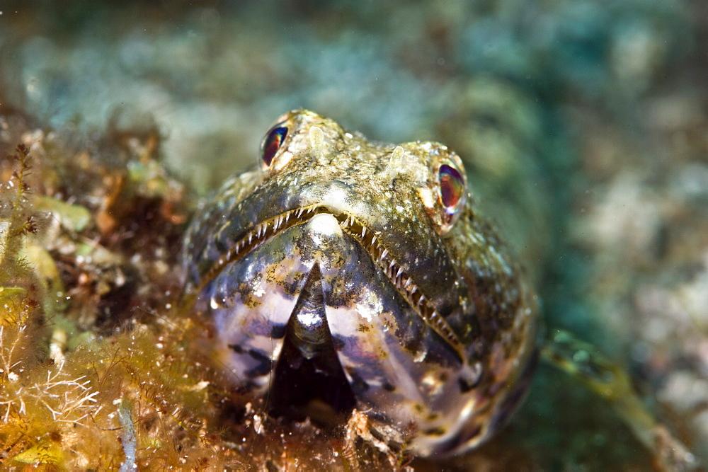 Sand diver (Synodus intermedius), St. Lucia, West Indies, Caribbean, Central America