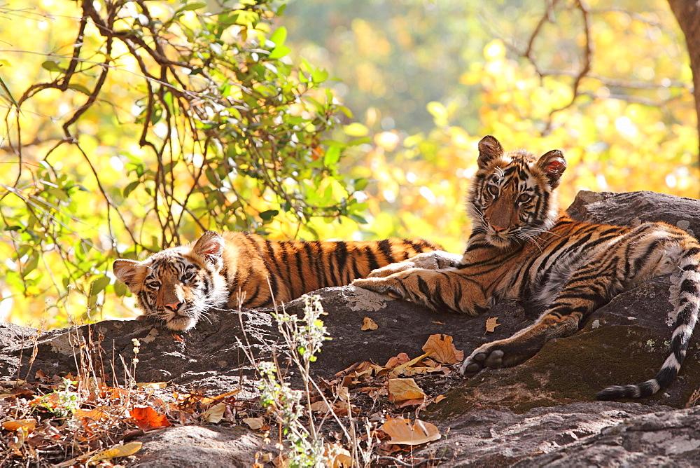 Bengal tiger, Panthera tigris tigris, Bandhavgarh National Park, Madhya Pradesh, India - 1106-10