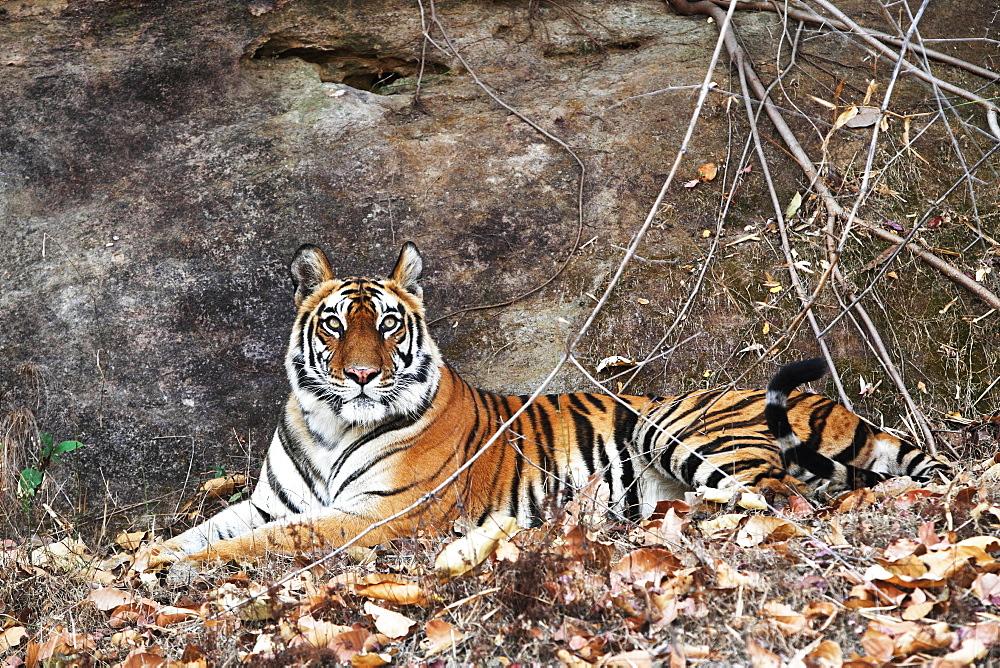 Bengal tiger, Panthera tigris tigris, Bandhavgarh National Park, Madhya Pradesh, India - 1106-11