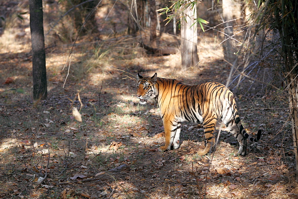Bengal tiger, Panthera tigris tigris, Bandhavgarh National Park, Madhya Pradesh, India - 1106-13