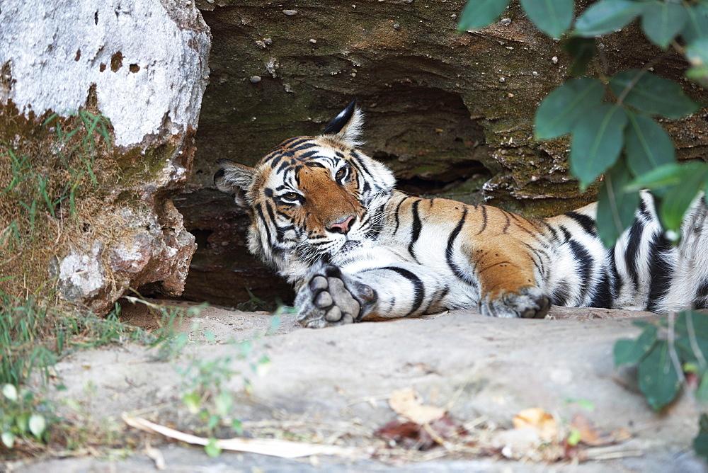Bengal tiger, Panthera tigris tigris, Bandhavgarh National Park, Madhya Pradesh, India - 1106-15