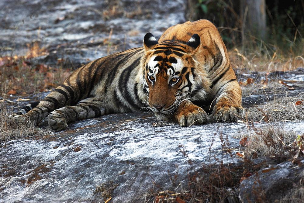 Wild Bengal tiger (Panthera tigris tigris), Bandhavgarh Tiger Reserve, Madhya Pradesh, India, Asia - 1106-18