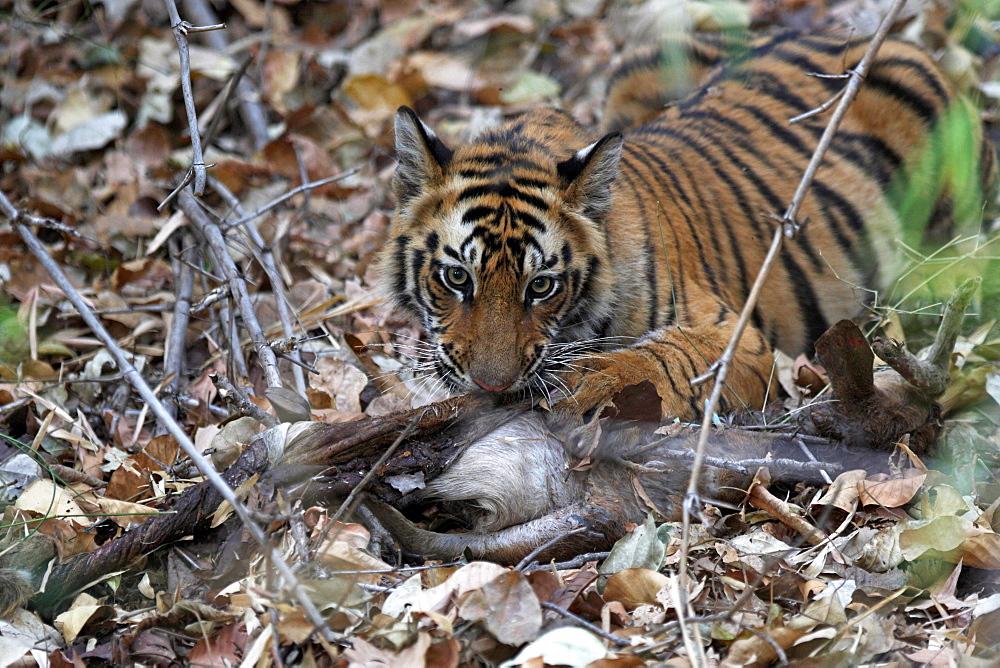 Wild Bengal tiger (Panthera tigris tigris), Bandhavgarh Tiger Reserve, Madhya Pradesh, India, Asia - 1106-19