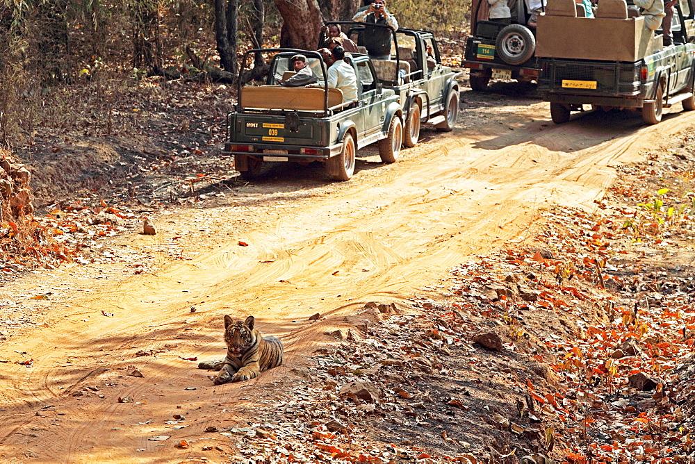 Wild Bengal tiger (Panthera tigris tigris), Bandhavgarh Tiger Reserve, Madhya Pradesh, India, Asia - 1106-22