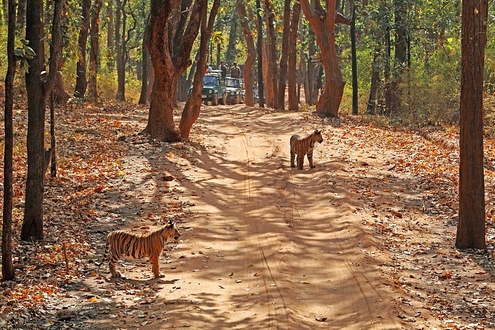 Wild Bengal tiger (Panthera tigris tigris), Bandhavgarh Tiger Reserve, Madhya Pradesh, India, Asia - 1106-23