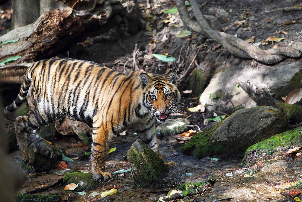 Wild Bengal tiger (Panthera tigris tigris), Bandhavgarh Tiger Reserve, Madhya Pradesh, India, Asia - 1106-24