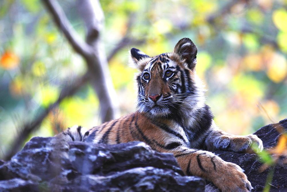 Bengal tiger, Panthera tigris tigris, Bandhavgarh National Park, Madhya Pradesh, India - 1106-3