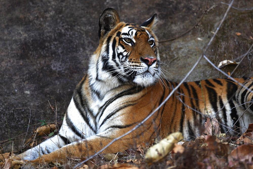 Bengal tiger, Panthera tigris tigris, Bandhavgarh National Park, Madhya Pradesh, India - 1106-4