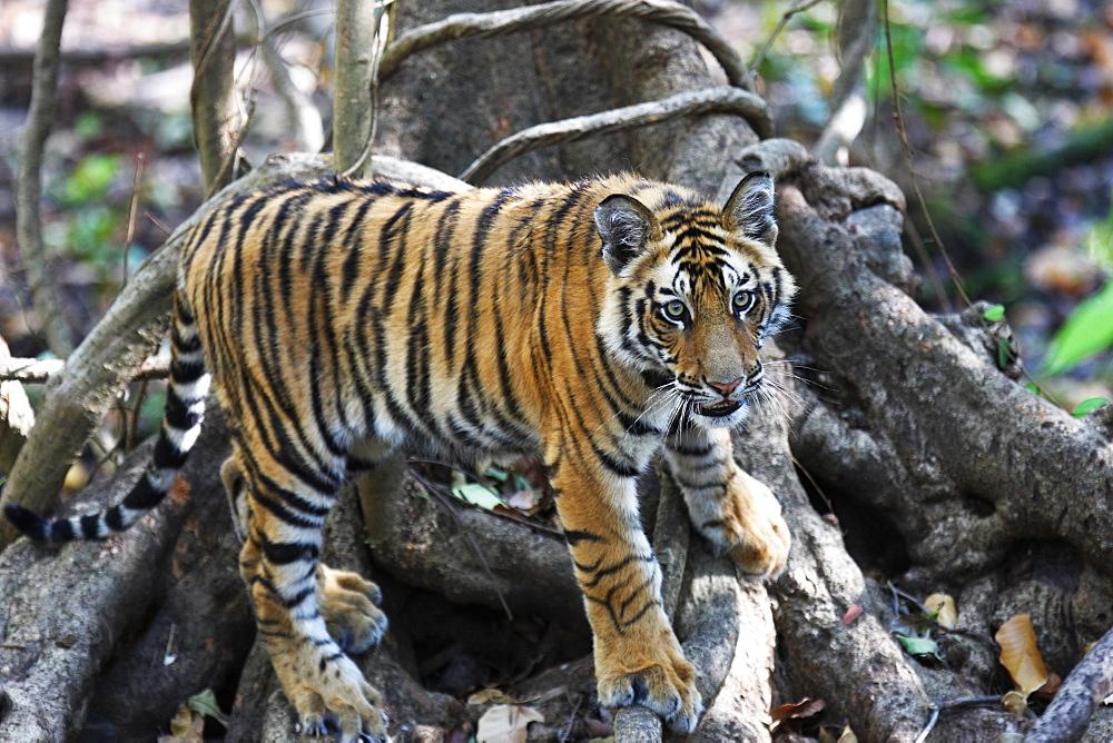 Bengal tiger, Panthera tigris tigris, Bandhavgarh National Park, Madhya Pradesh, India - 1106-6