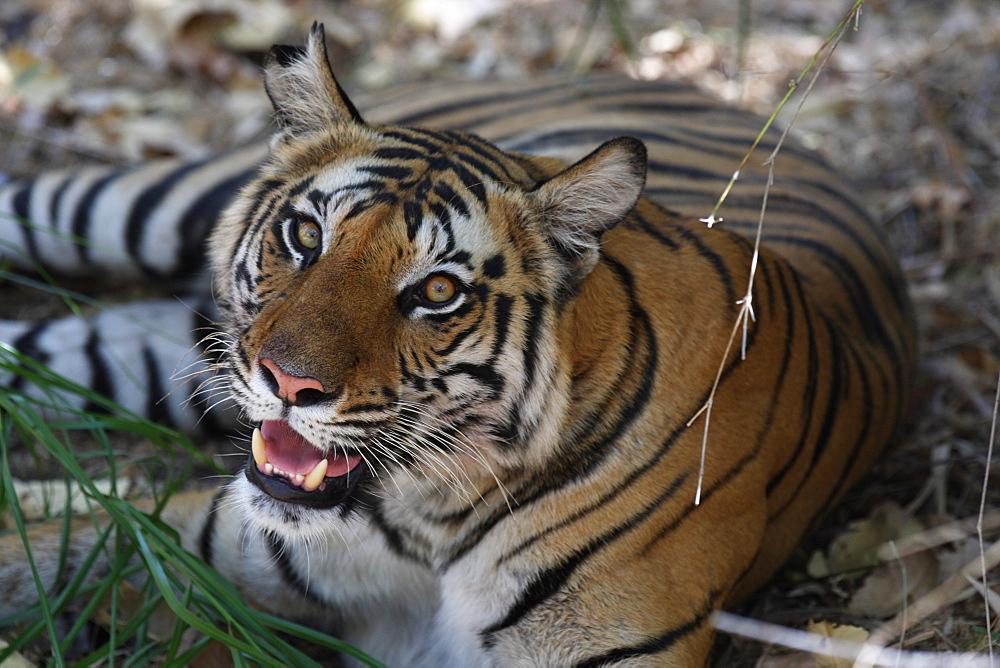 Bengal tiger, Panthera tigris tigris, Bandhavgarh National Park, Madhya Pradesh, India - 1106-9