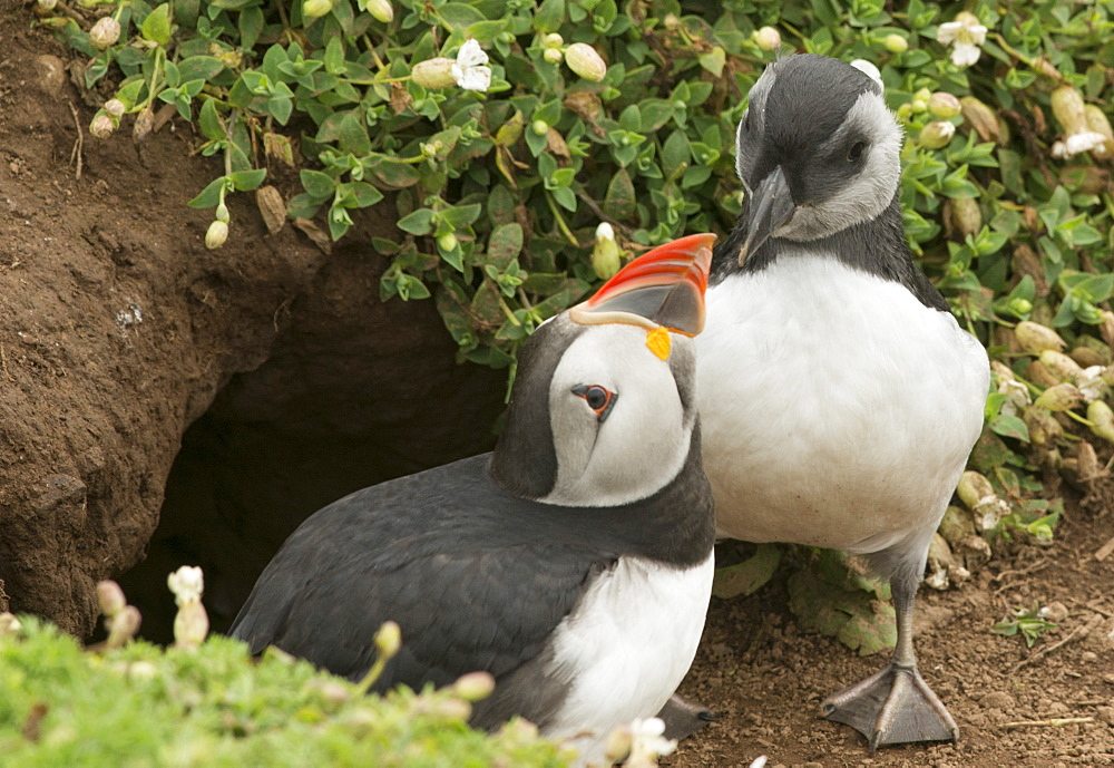 Adult puffin and puffling at entrance to burrow, Wales, United Kingdom, Europe - 1108-11