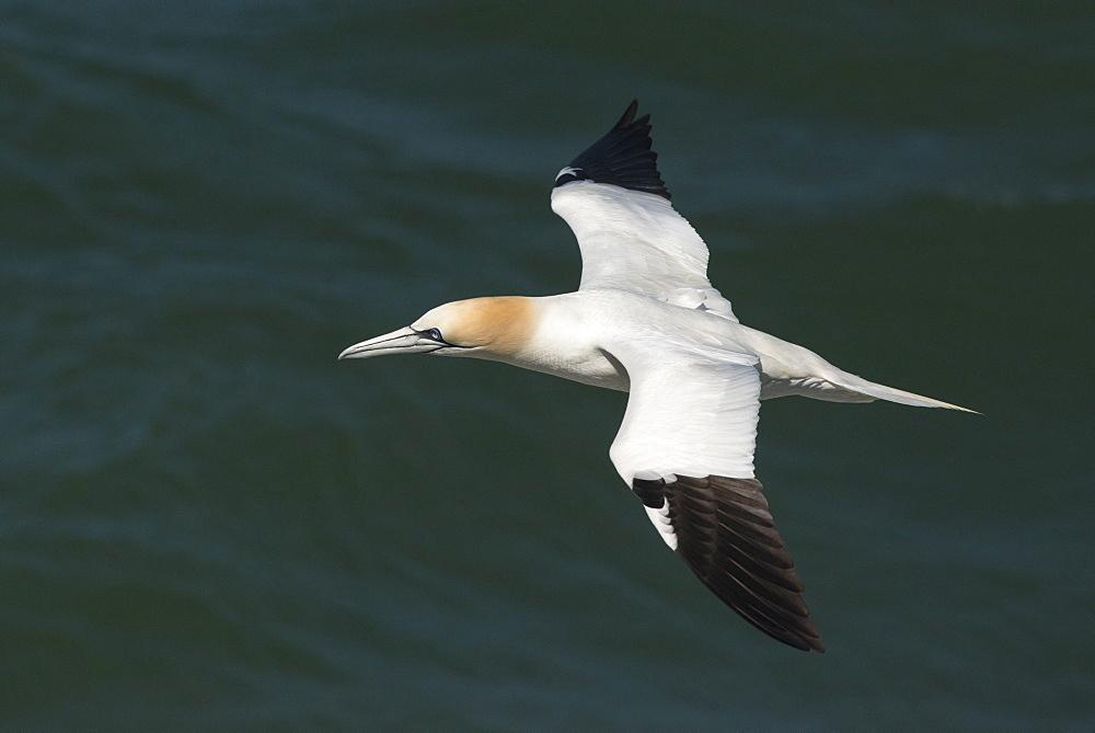 Northern gannet (Sula bassana) in flight, United Kingdom, Europe  - 1108-22