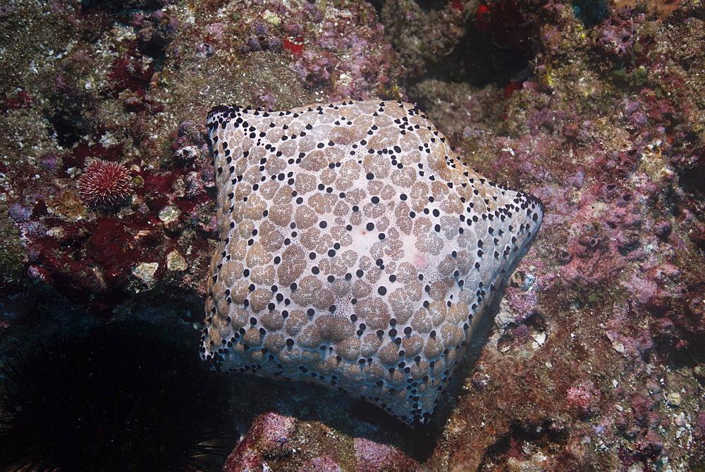 Pincushion Sea Star (Culcita novaeguineae), Mozambique, Africa  - 1108-30