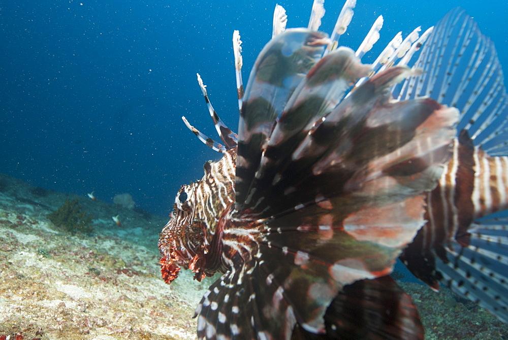 Lionfish, Mozambique, Africa - 1108-31
