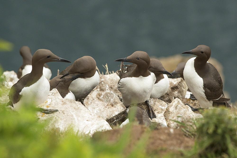 Guillemots on Skomer Island, Pembrokeshire, Wales, United Kingdom, Europe - 1108-54