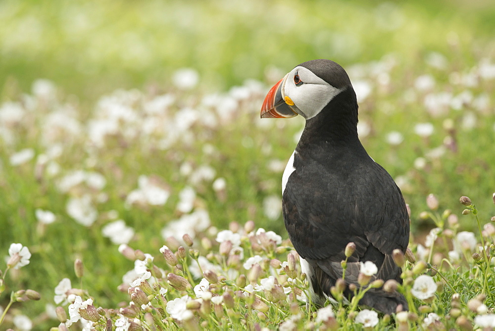 Puffin in sea campion, Wales, United Kingdom, Europe - 1108-7