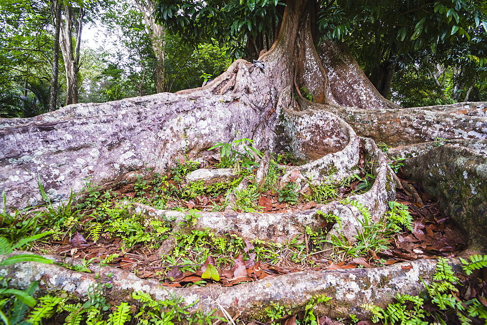 Twisted roots of an old tree at Kandy Royal Botanical Gardens, Peradeniya, Kandy, Sri Lanka, Asia