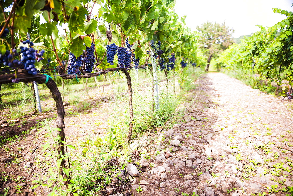 Red grapes at a vineyard on Mount Etna Volcano, UNESCO World Heritage Site, Sicily, Italy, Europe
