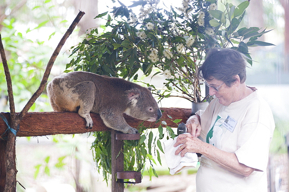 Volunteer feeding a Koala Bear (Phascolarctos cinereus) at the Koala Bear sanctuary, Port Macquarie, New South Wales, Australia, Pacific