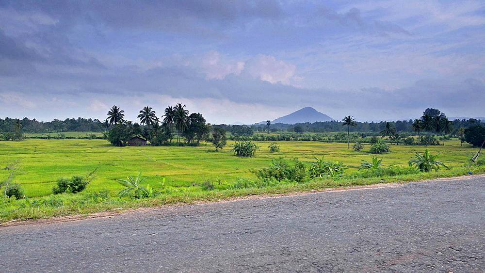 Paddy fields next to a rural road near Dambulla, Central Province, Sri Lanka, Asia