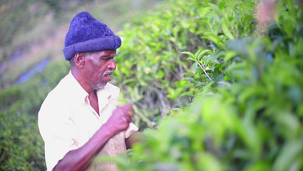 Sri Lanka tea plantation, a male tea picker picking tea in the Sri Lanka Central Highlands, Tea Country, Sri Lanka, Asia