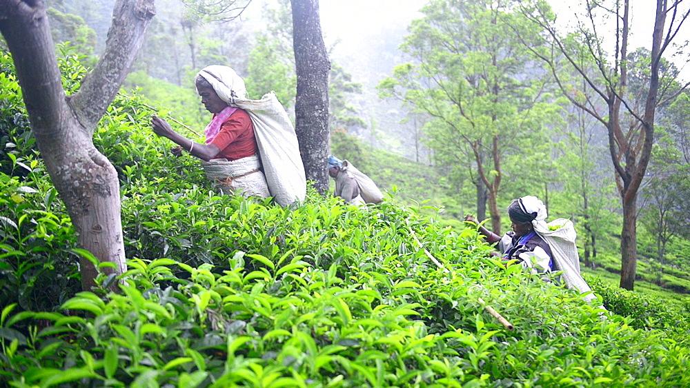Tea pickers picking Ceylon Tea in a tea plantation in the Sri Lanka Central Highlands aka Tea Country, Sri Lanka, Asia