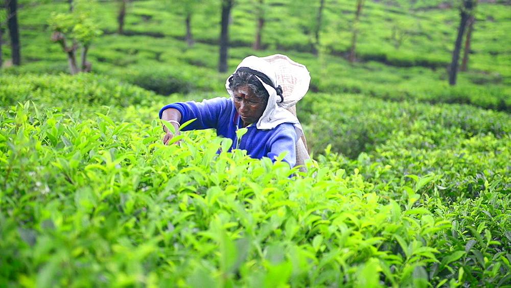 Tea picker picking Ceylon Tea in a tea plantation in the Sri Lanka Central Highlands aka Tea Country, Sri Lanka, Asia
