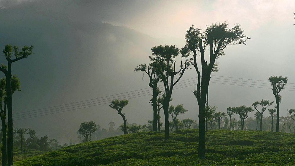 Haputale, sunrise at a tea plantation, Sri Lanka Hill Country aka Tea Country, Sri Lanka, Asia