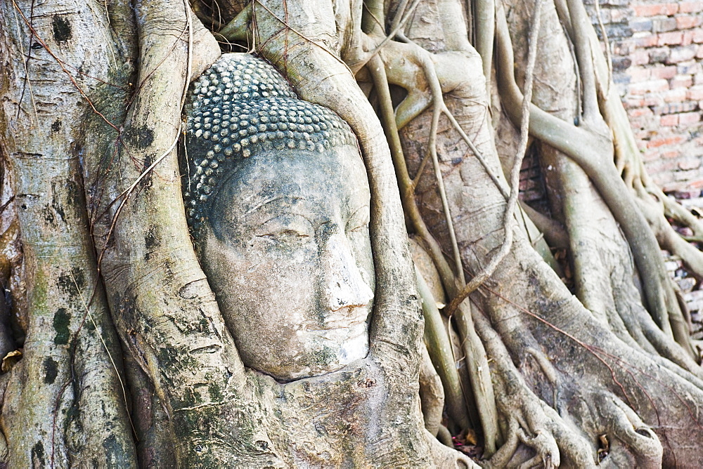 Large stone Buddha head in fig tree roots, Wat Mahathat, Ayutthaya City, UNESCO World Heritage Site, Thailand, Southeast Asia, Asia