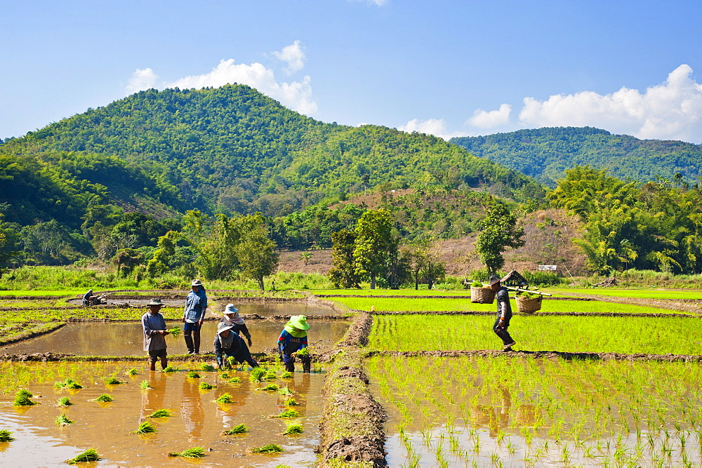 Lahu tribe people planting rice in rice paddy fields, Chiang Rai, Thailand, Southeast Asia, Asia