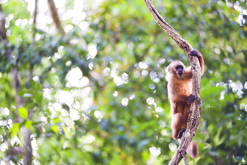 White fronted Capuchin monkey (Cebus albifrons), Monkey Island (Isla de los Monos), Tambopata National Reserve, Peru, South America