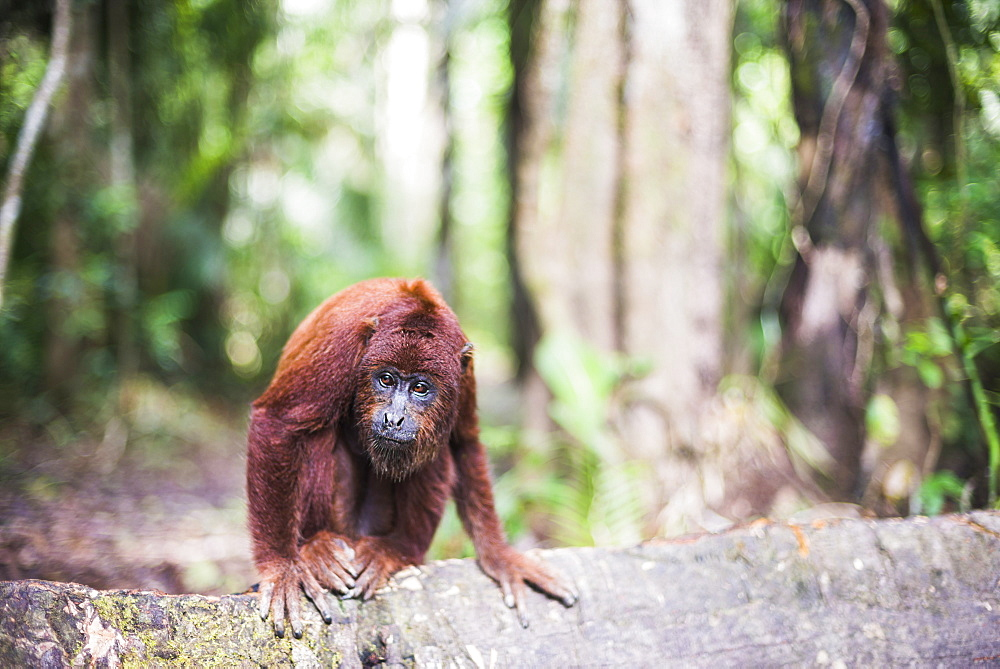 Red howler monkey (Alouatta Seniculus), Tambopata National Reserve, Puerto Maldonado Amazon Jungle area, Peru, South America