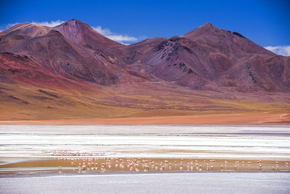 Flamingos at Laguna Hedionda, a salt lake area in the Altiplano of Bolivia, South America