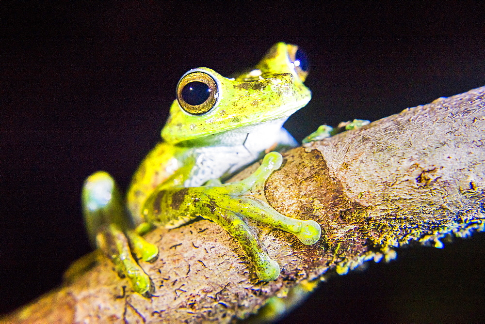 Tree frog in the Mashpi Cloud Forest area of the Choco Rainforest, Pichincha Province, Ecuador, South America
