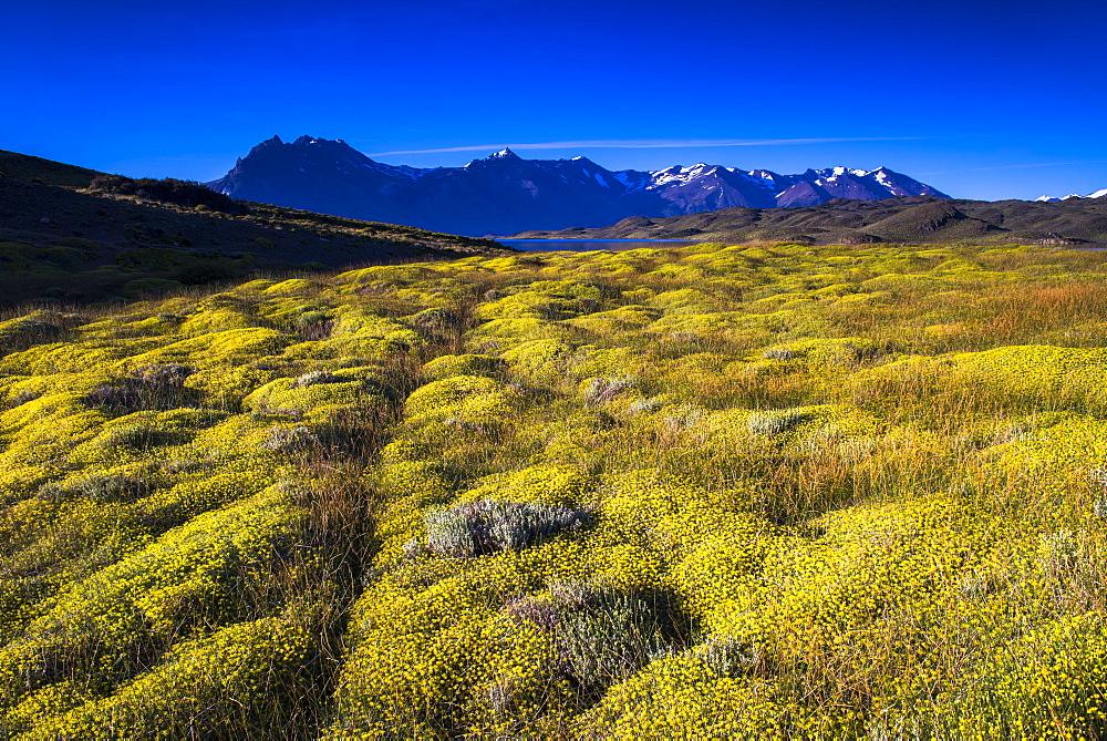 Yellow bush at Belgrano Lake (Lago Belgrano), Perito Moreno National Park, Santa Cruz Province, Patagonia, Argentina, South America