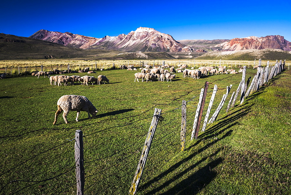 Sheep on the farm at Estancia La Oriental, Perito Moreno National Park, Santa Cruz Province, Patagonia, Argentina, South America