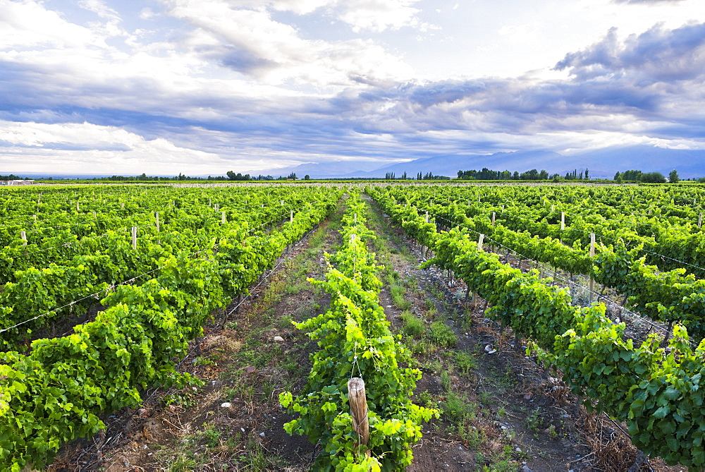 Vineyards at Bodega La Azul, a winery in Uco Valley (Valle de Uco), a wine region in Mendoza Province, Argentina, South America